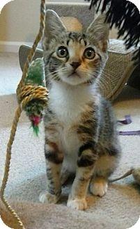 Domestic Shorthair Kitten for adoption in Hampton, Virginia - Kikat