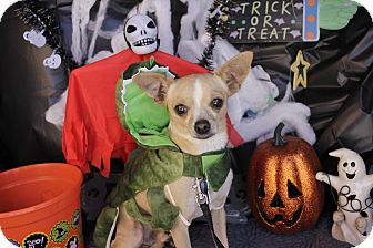 Chihuahua Mix Dog for adoption in San Antonio, Texas - Coyote