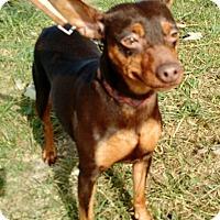 Adopt A Pet :: Carmine - Macomb, IL