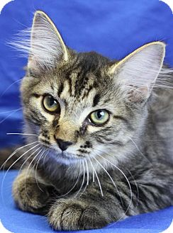 Maine Coon Kitten for adoption in Winston-Salem, North Carolina - Ernie