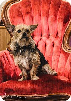 Yorkie, Yorkshire Terrier/Wirehaired Fox Terrier Mix Puppy for adoption in Beloit, Wisconsin - Samuel
