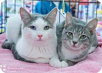 Domestic Shorthair Kitten for adoption in Merrifield, Virginia - Gizmo