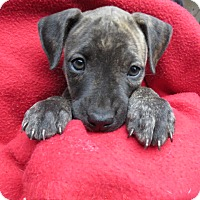 Adopt A Pet :: Darcy! ADORABLE Puppy - St Petersburg, FL