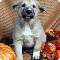 Adopt A Pet :: OLSEN - Westminster, CO