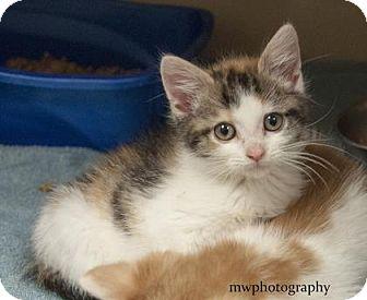 Calico Kitten for adoption in Lincolnton, North Carolina - Crystal  $20
