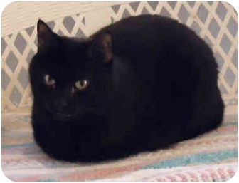 Domestic Shorthair Cat for adoption in Chicago, Illinois - Luigi