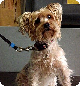 Yorkie, Yorkshire Terrier Dog for adoption in Fort Riley, Kansas - Coco