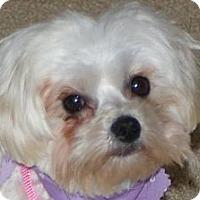 Adopt A Pet :: Tootsie - Shawnee Mission, KS