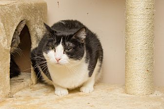Domestic Shorthair Cat for adoption in Chicago, Illinois - Storm