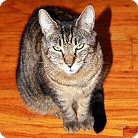 Domestic Shorthair Cat for adoption in Central Islip, New York - Charlie
