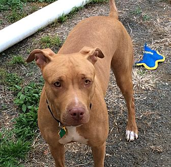 Labrador Retriever Mix Dog for adoption in Rye Brook, New York - Honey