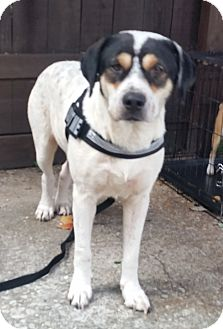 Beagle/Cattle Dog Mix Dog for adoption in Houston, Texas - Sam