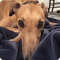 Adopt A Pet :: Tango - Seattle, WA