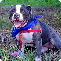 Adopt A Pet :: Crash - Livermore, CA