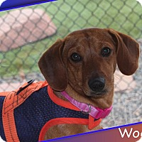 Adopt A Pet :: Woody - Louisville, CO