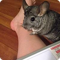Chinchilla for adoption in Granby, Connecticut - Salamo