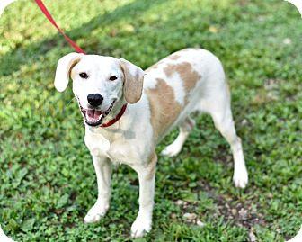 Siberian Husky/Beagle Mix Dog for adoption in Newburgh, Indiana - Impala