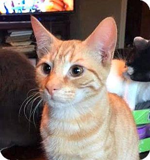 Domestic Shorthair Kitten for adoption in Burlington, North Carolina - LARRY (ORANGE KITTEN 2)