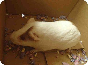Guinea Pig for adoption in Fullerton, California - *Urgent* Winter