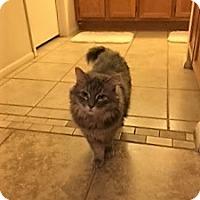 "Ragdoll Cat for adoption in Phoenix, Arizona - Keisha - 7 ""K"" Kitty"