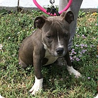 Pit Bull Terrier Mix Puppy for adoption in Ogden, Utah - Rauzzy