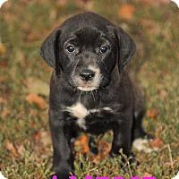 Adopt A Pet :: Amelie - Colmar, PA