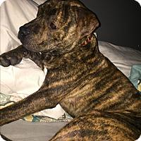 Adopt A Pet :: Chunk - Lombard, IL