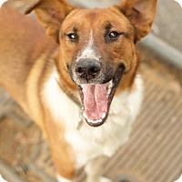 Adopt A Pet :: Maverick - Hagerstown, MD