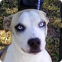 Husky/Shar Pei Mix Dog for adoption in St Petersburg, Florida - Elandra