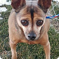 Chihuahua Mix Dog for adoption in Ogden, Utah - Loki