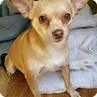 Chihuahua Mix Dog for adoption in Matthews, North Carolina - Tinker bell
