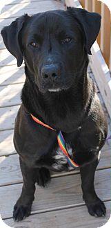 Labrador Retriever Mix Dog for adoption in Austin, Texas - Si
