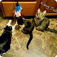 Adopt A Pet :: King Julien - St. Charles, MO