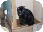 Domestic Mediumhair Cat for adoption in North Boston, New York - Cher
