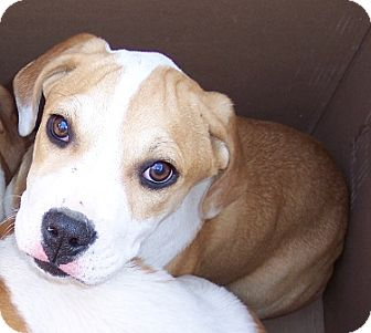 Boxer/St. Bernard Mix Puppy for adoption in Metamora, Indiana - Diego
