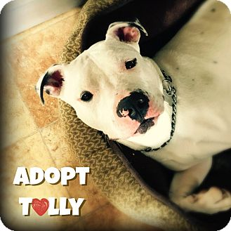 American Bulldog/Pit Bull Terrier Mix Dog for adoption in Wantagh, New York - Tully