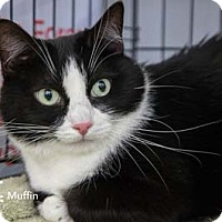 Adopt A Pet :: Muffin - Merrifield, VA