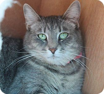 Domestic Shorthair Cat for adoption in Glendale, Arizona - Lisa