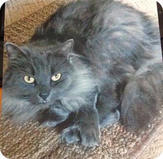 Domestic Shorthair Cat for adoption in Monroe, Georgia - Gracie