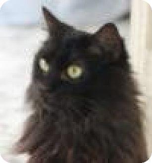 Domestic Longhair Cat for adoption in Brooklyn, New York - Tinsley, Stunning, Shy Tiffany