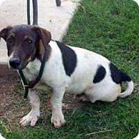 Adopt A Pet :: Bluto - Cat Friendly - Rowayton, CT