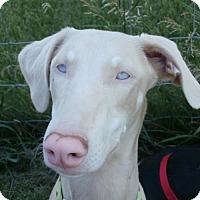 Adopt A Pet :: Gaia - Madison, WI