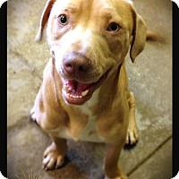 Adopt A Pet :: Pollux - Hartford City, IN