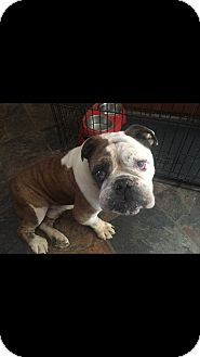 English Bulldog Dog for adoption in Santa Ana, California - Cooper