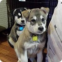 Adopt A Pet :: Belle - Saskatoon, SK