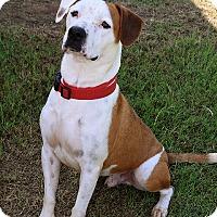 American Bulldog Mix Dog for adoption in Pilot Point, Texas - DUKE