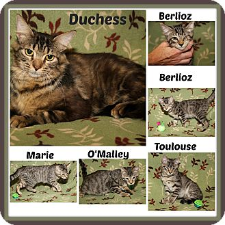 Domestic Shorthair Cat for adoption in Marietta, Ohio - Duchess & Kittens