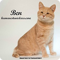 Domestic Shorthair Cat for adoption in Modesto, California - Ben
