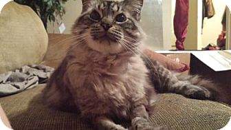Maine Coon Cat for adoption in New Orleans, Louisiana - Princess