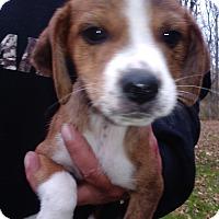 Adopt A Pet :: Amber - Kendall, NY